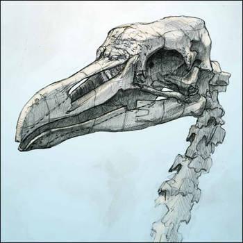 Bird skull by Nicoll