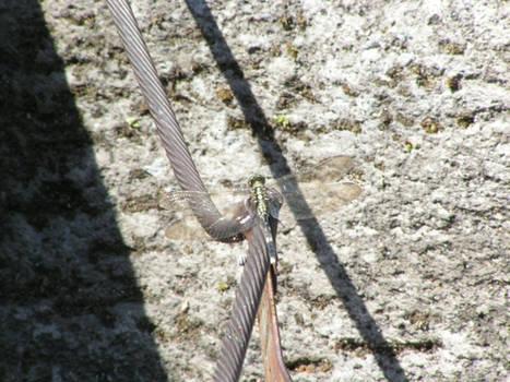 Mendut dragonfly