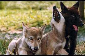 wolf cubs by evilchildinlove