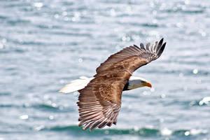 Eagle in Flight by bulldogWA