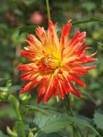 Orange dahlia by Sugar-Sugar-Bee