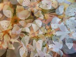 Tree blossom (pear) by Sugar-Sugar-Bee