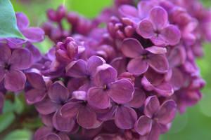 The purple lilac III by Sugar-Sugar-Bee
