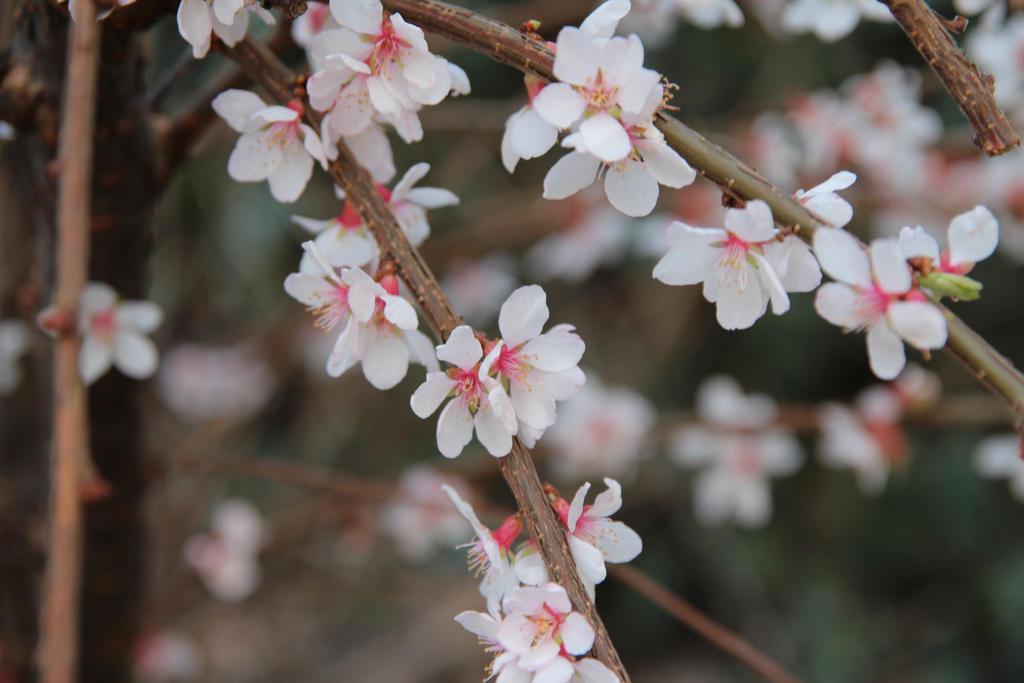 Almond bloom by Chari-ot