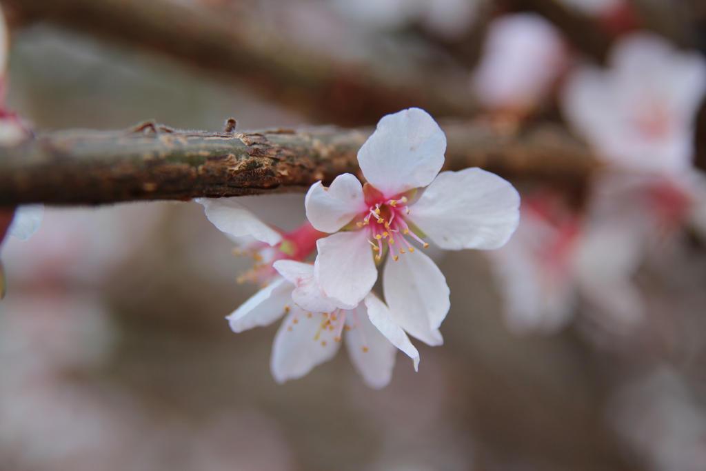 Almond blossom by Chari-ot