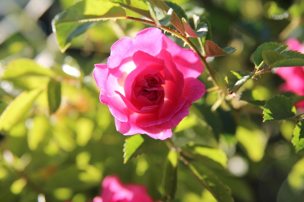 Sunny rose by Chari-ot