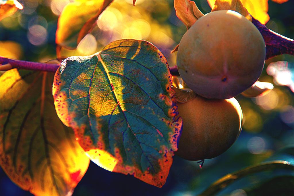 Persimmon by Sugar-Sugar-Bee