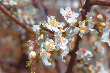 Spring tree blossom by Sugar-Sugar-Bee
