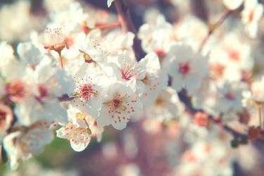 Spring tree blossom II by Sugar-Sugar-Bee