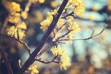 Spring tree blossom|Dogwood by Sugar-Sugar-Bee