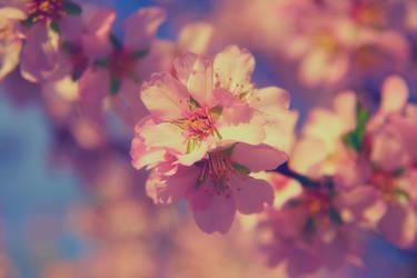 Spring tree blossom IV|Almond tree blossom by Sugar-Sugar-Bee