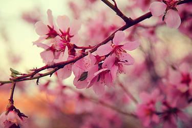 Spring tree blossom VII|Almond blossom by Sugar-Sugar-Bee