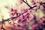 Spring tree blossom X