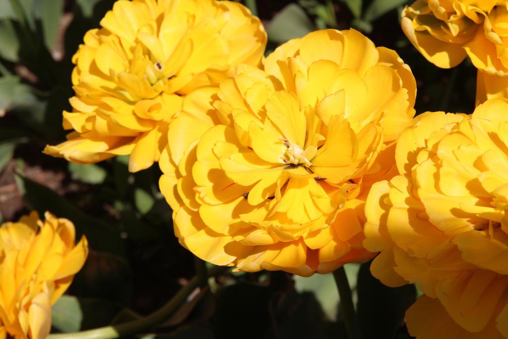 Fluffy tulip by Sugar-Sugar-Bee