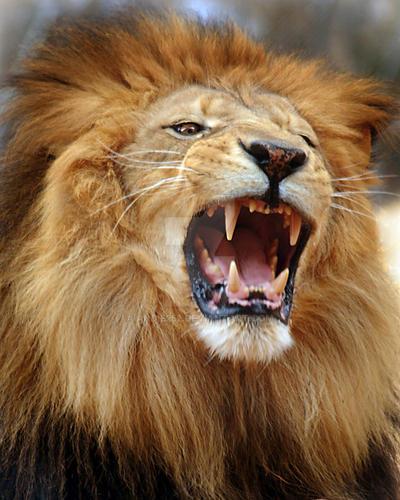 Lions Roar By Andie252
