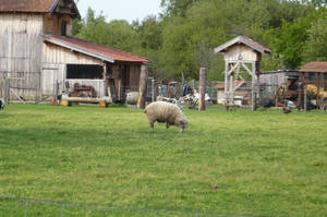 sheep in Biscarosse by nicolapin