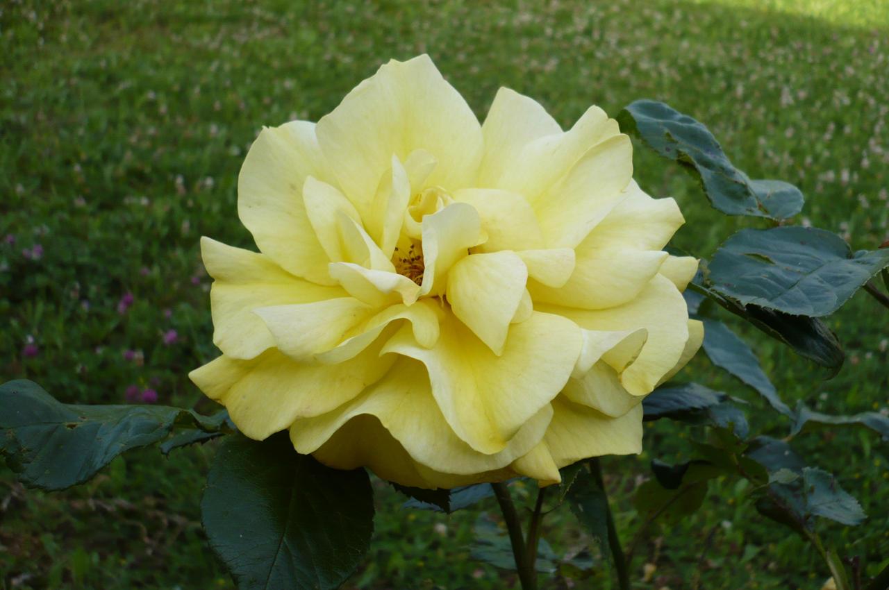 Yellow Rose by nicolapin