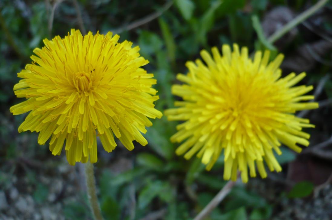twins Pissenlit - Dandelion by nicolapin