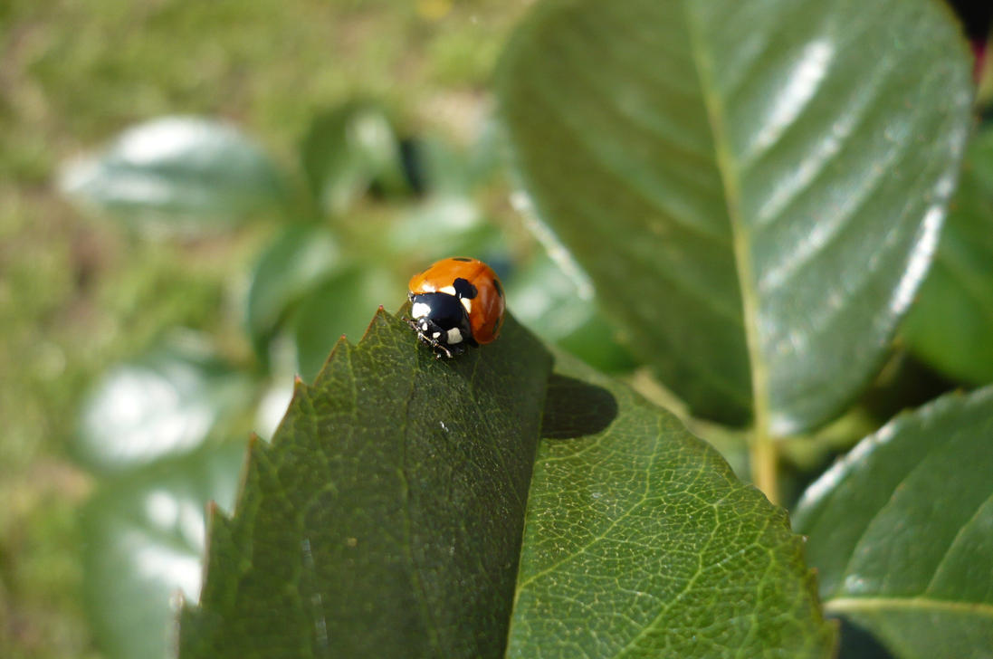 l'amie Coccinelle by nicolapin