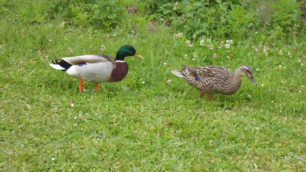 Ladies Duck having a walk by nicolapin