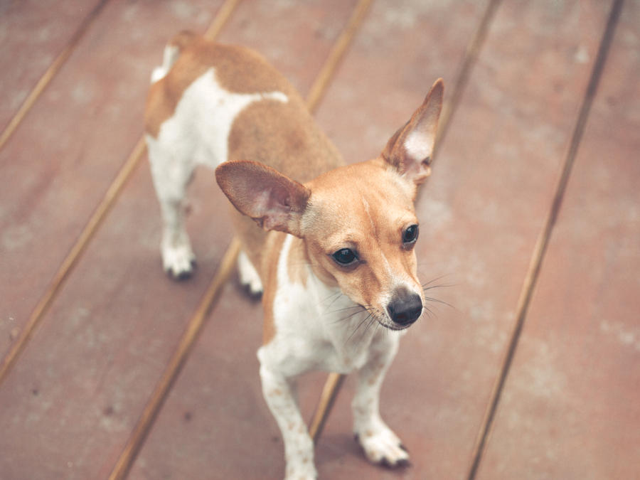 chiuaua jack russell terrier mix a mixture of a chihuahua jack russell terrier pictures to 5904