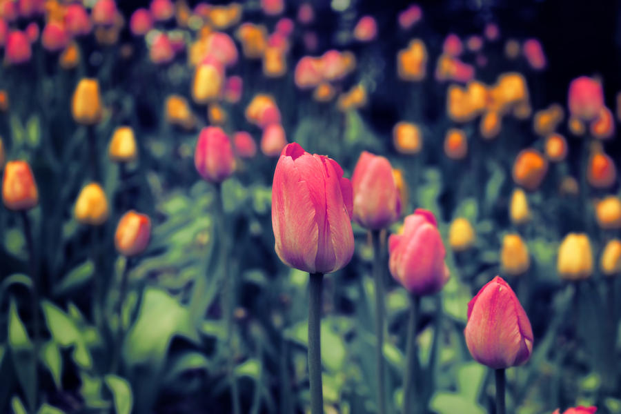 Tulips by Ivoryia