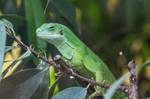 Lizard003 by ov3