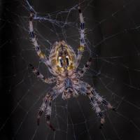 Spider003 by ov3