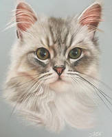 poppy the Persian cross chinchilla by ivanhooart