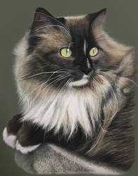 Chip The Ragamuffin cat