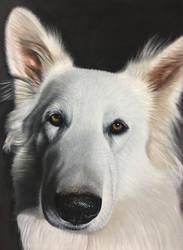 Yuki the white Swiss shepherd