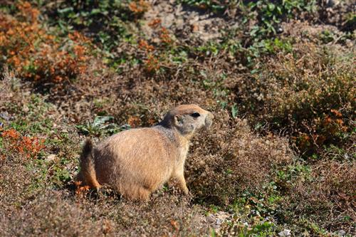 Prairie dog in Theodore Roosevelt by boradaphotography
