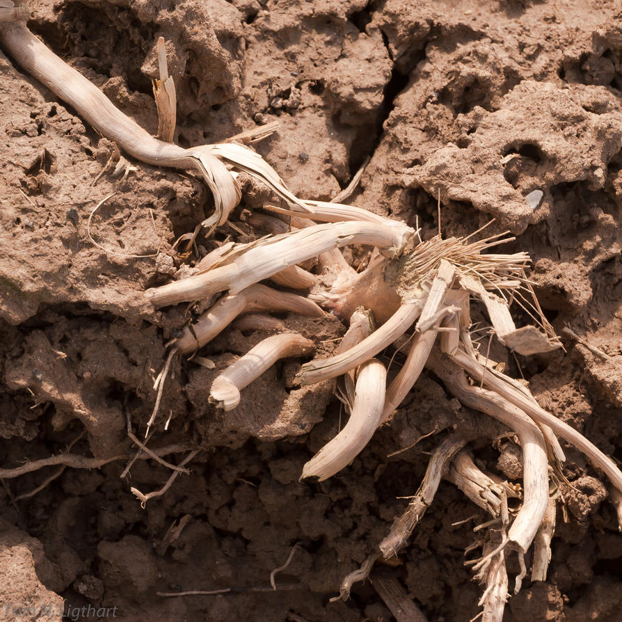 Decaying maize roots by TomNL