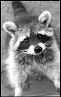 Waschbaer - raccoon by minipliman
