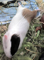 My Guinea Pig by cotyrocksteady
