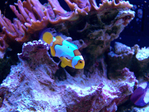 Picasso Clownfish Wallpaper Picasso Clownfish by