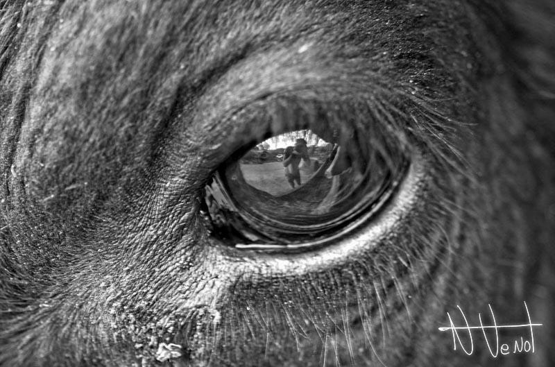 Cow S Eye By Derangeoramus On Deviantart