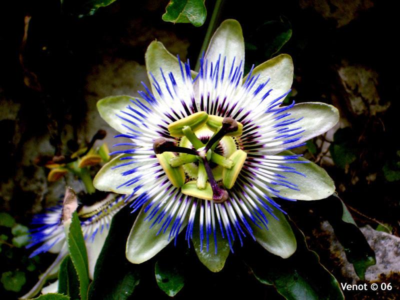Passion Fruit Flower By Derangeoramus On Deviantart