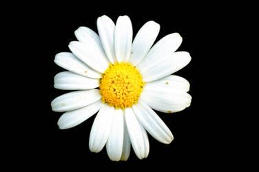Single flower is single by ouhti