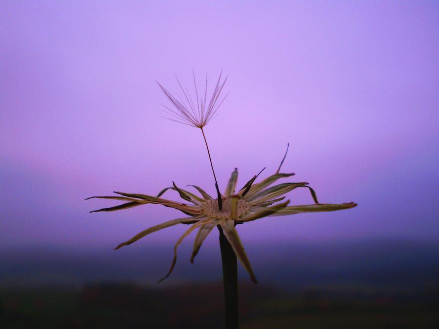 Dandelion by Nicollaos