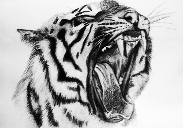 Tiger Growling GIF  Find amp Share on GIPHY