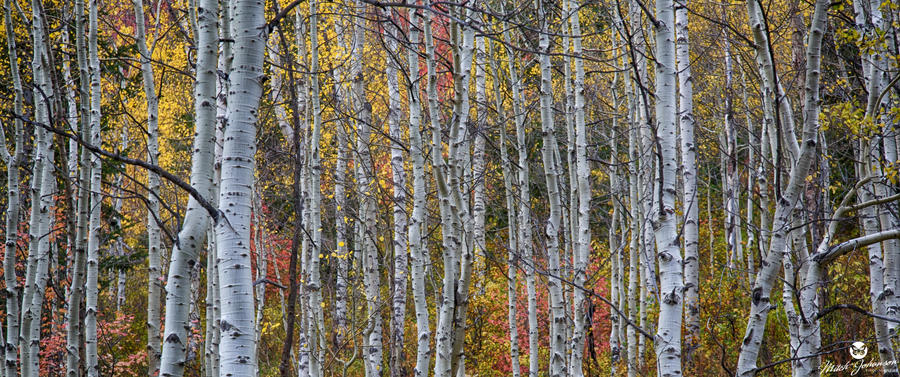 Panorama of Aspens and Colors by mjohanson