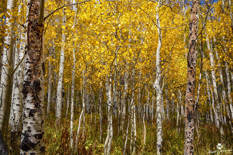 Age Pitted Aspens by mjohanson