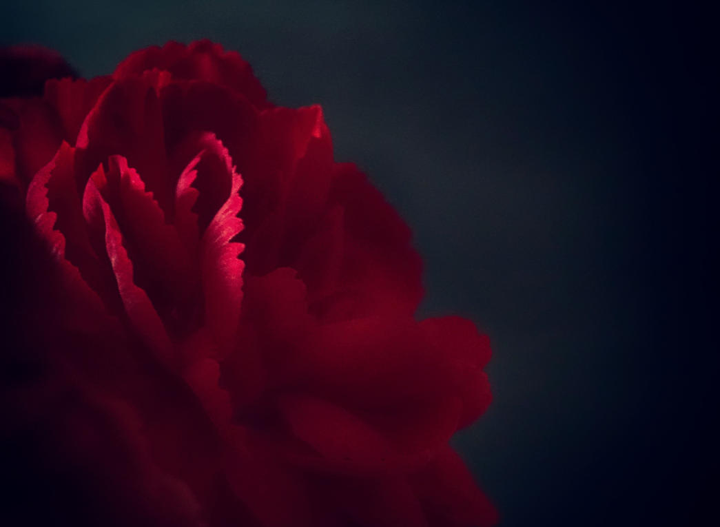 Red Rose 2 by ExileOfDeath