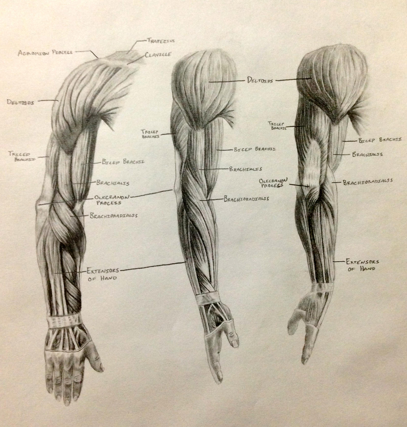 Arm Muscles by RonBirdArt on DeviantArt Arm Muscles Drawing