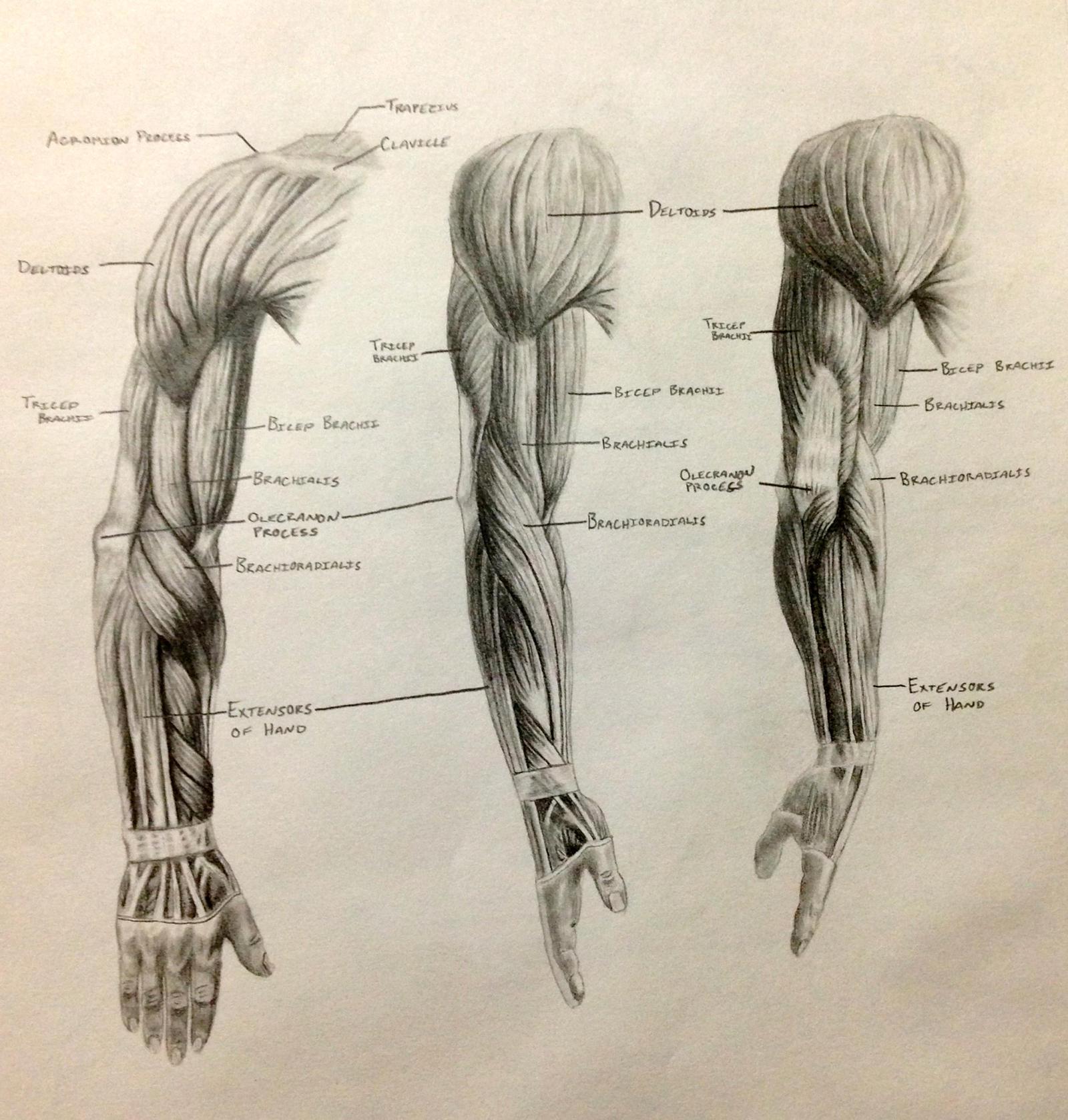 Human arm diagram - photo#43