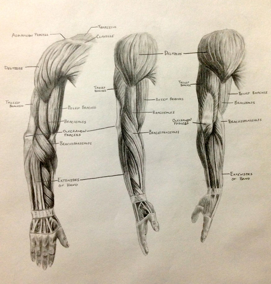 Arm Muscles by ...