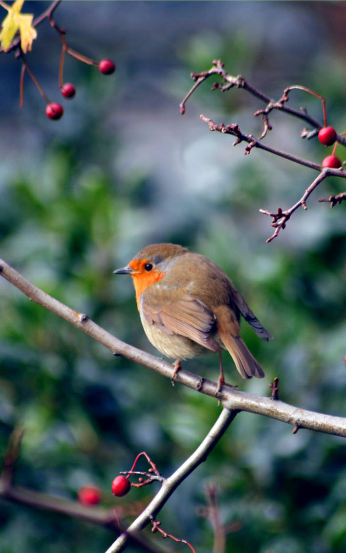 Image result for robin in a holly bush