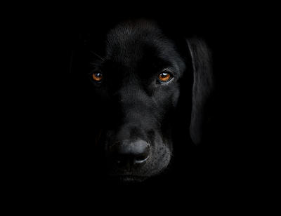 My black labrador by domifoto