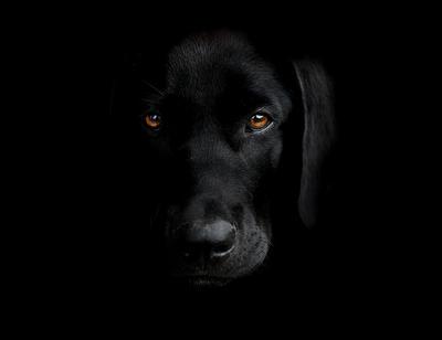 My black labrador by domifoto